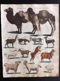Goldsmith & Shaw 1817 Hand Col Print. Camel, African Camel, Goats, Sheep